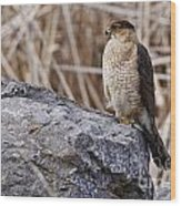 Coopers Hawk Pictures 91 Wood Print