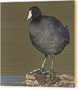 Coot On A Log Wood Print
