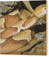 Copperhead Snake Wood Print