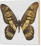 Coppery Swordtail Butterfly Wood Print