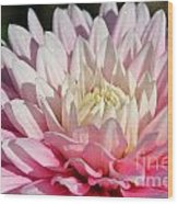 Coral Dahlia Wood Print