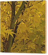 Coral Maple Fall Color Wood Print