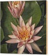 Coral Pink Water Lilies Wood Print