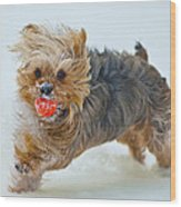 Corky The Yorky Wood Print by Don Wolf