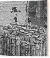 Cormorant Landing Black And White Wood Print