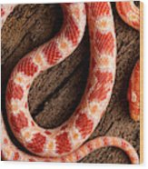 Corn Snake P. Guttatus On Tree Bark Wood Print