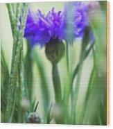 Cornflower (centaurea Cyanus) Wood Print