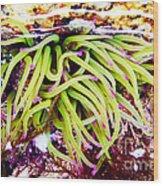 Cornish Rock Pool Snakelocks Anemone Wood Print