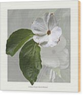 Cornus 'eddie's White Wonder' Wood Print by Saxon Holt