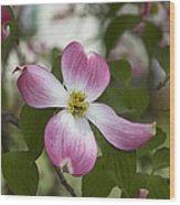 Cornus Florida - Pink Dogwood Blossoms Wood Print