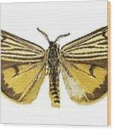 Coscinia Striata Moth Wood Print