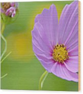 Cosmos Flower In Full Bloom And Bud Wood Print