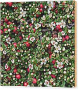 Cotoneaster Bush Background Wood Print
