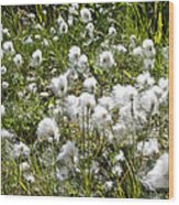 Cotton Grass On Homestead Trail In Homer-ak- Wood Print