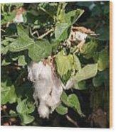 Cotton Plant Wood Print