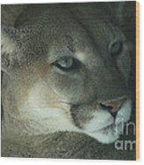 Cougar-7688 Wood Print