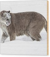 Cougar On A Winter Prowl Wood Print