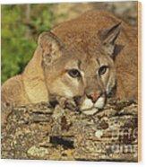 Cougar On Lichen Rock Wood Print