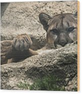 Cougar Spotted Me Wood Print