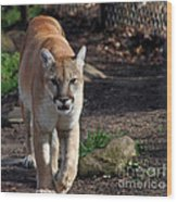 Cougar Walking Towards You Wood Print