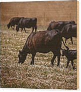 Cow And Calf Grazing Wood Print