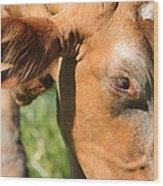 Cow Closeup 7d22391 Wood Print