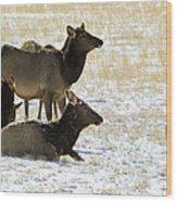 Cow Elk   #0460 Wood Print