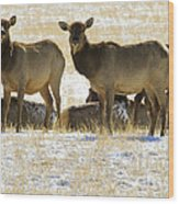 Cow Elk   #0479 Wood Print