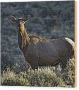 Cow Elk    #7533 Wood Print