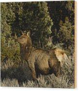 Cow Elk   #7582 Wood Print