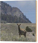 Cow Elk   #9488 Wood Print