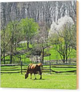 Cow Grazing In Pasture In Spring Wood Print