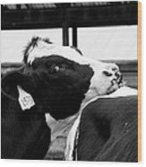 Cow Just Resting His Chin Wood Print