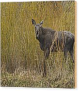 Cow Moose   #1638 Wood Print