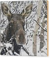Cow Moose Among Snow Covered Trees In Wood Print
