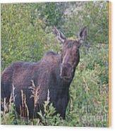 Cow Moose Portrait Wood Print