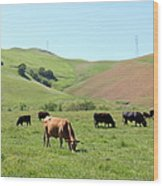Cows Along The Rolling Hills Landscape Of The Black Diamond Mines In Antioch California 5d22355 Wood Print