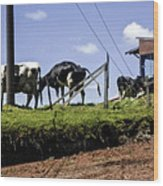 Cows - Costa Rica Wood Print