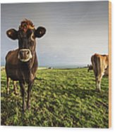 Cows In A Field With One Cow Staring At Wood Print