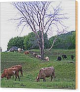 Cows In Rolling Hills Wood Print