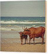 Cows On Sea Coast Wood Print by Raimond Klavins