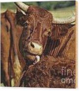 Cows Salers Wood Print by Bernard Jaubert