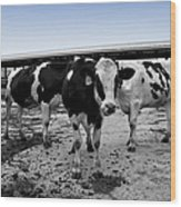 Cows Three In One Wood Print