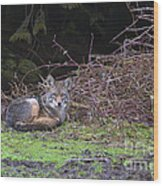 Coyote Curled Up Wood Print