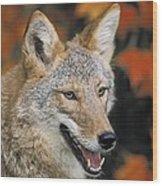 Coyote In Maple Wood Print