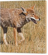 Coyote In Rocky Mountain National Park Wood Print