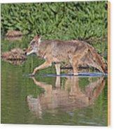 Coyote Looking For Breakfast Wood Print