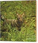 Coyote Of The Woods Wood Print