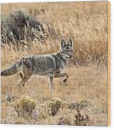 Coyote On The Move Wood Print