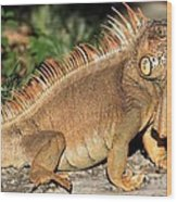 Cozumel Iguana Vacation Wood Print